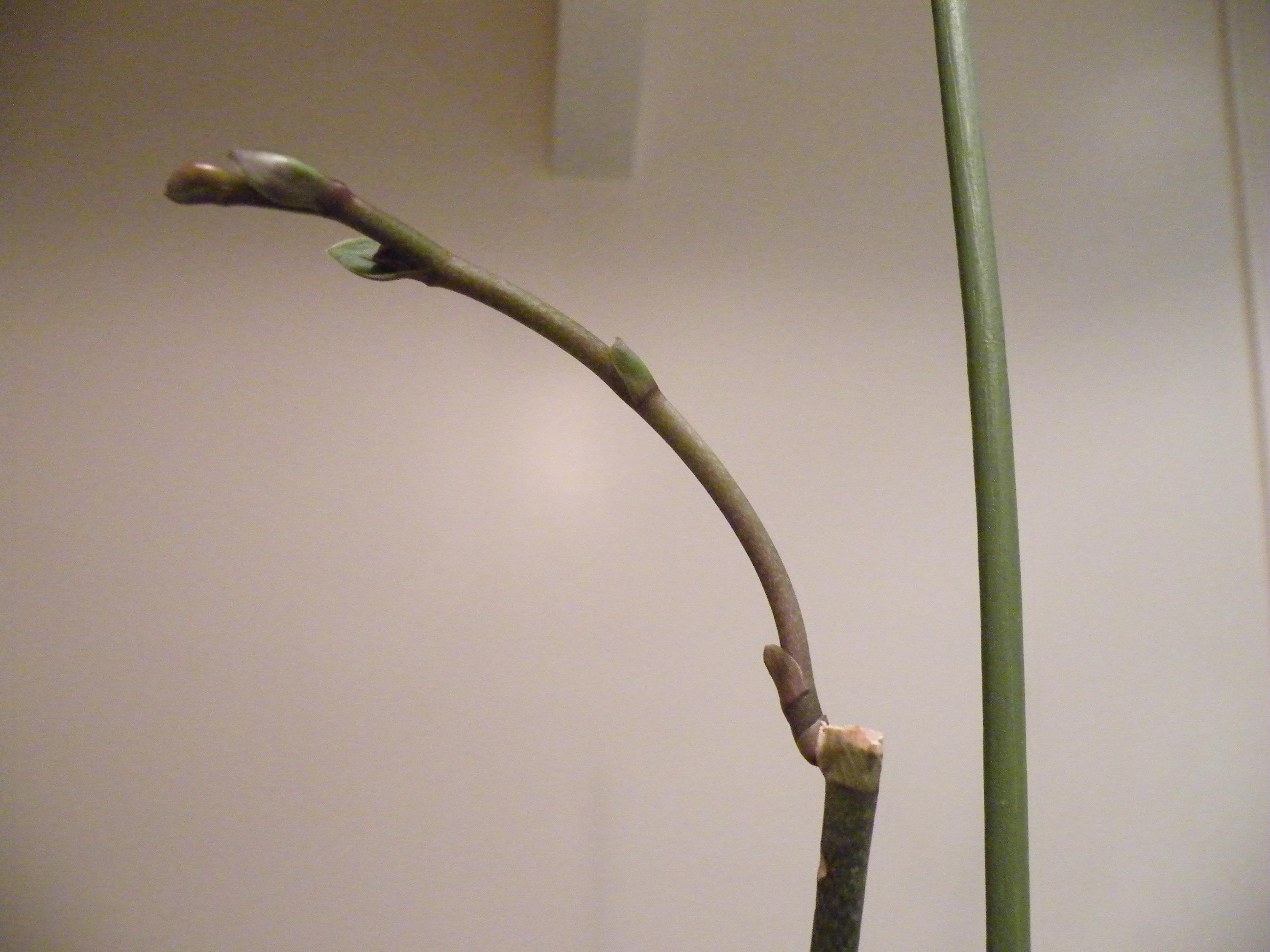 Comment Entretenir Son Orchidee Pousse D Une Nouvelle Tige