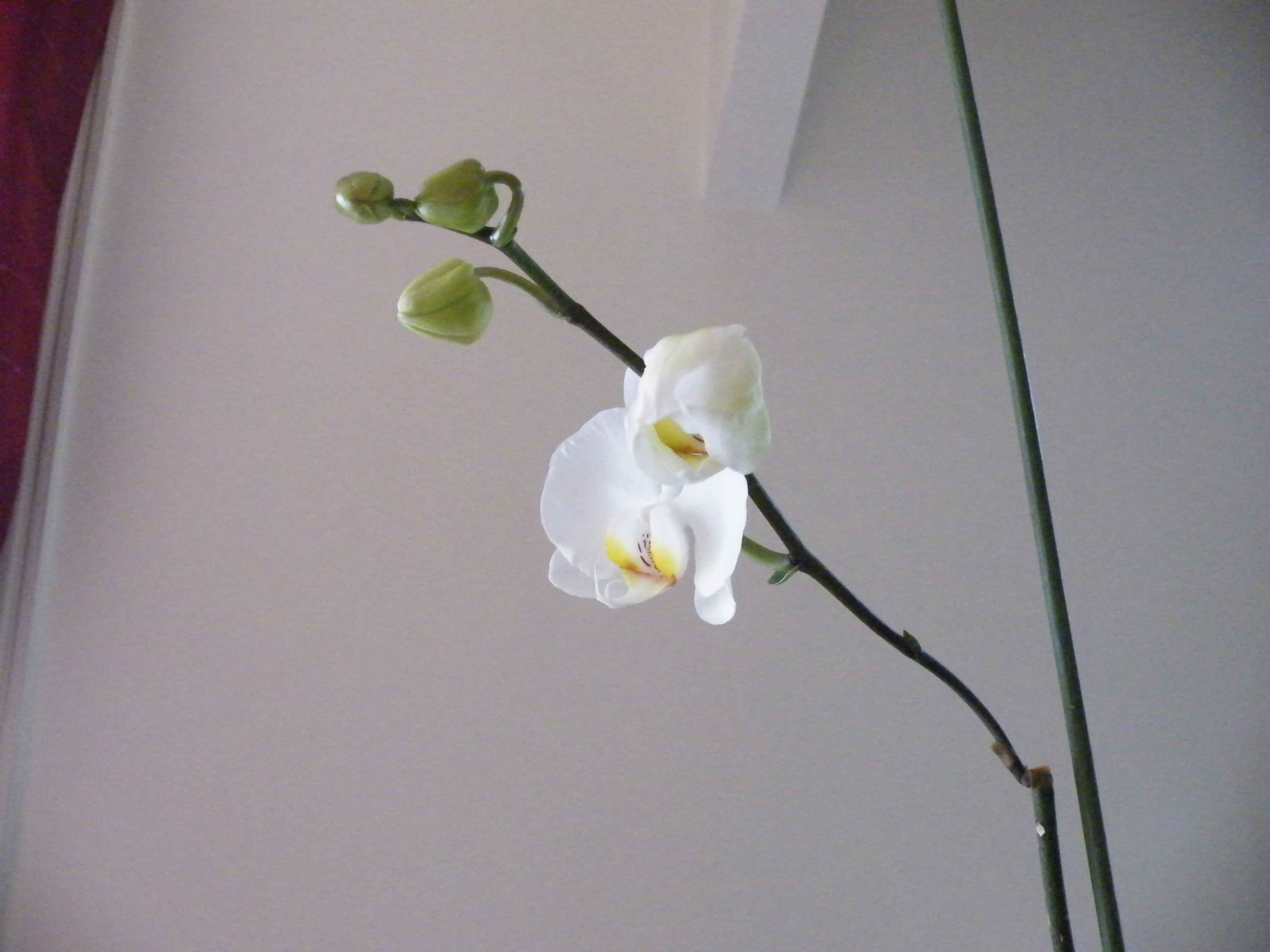 comment entretenir son orchidee - pousse d'une nouvelle tige