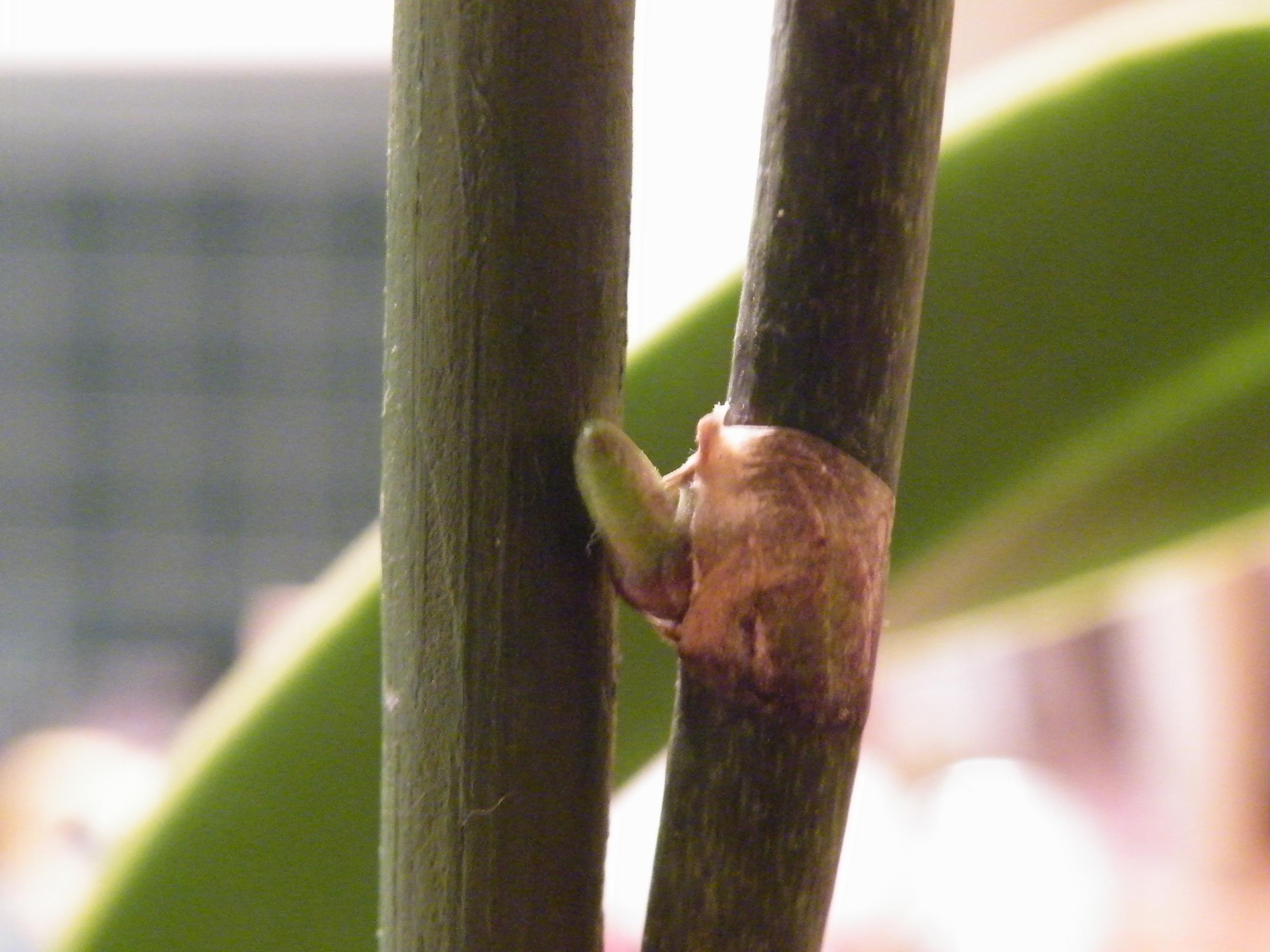 orchidee qui refait une tige